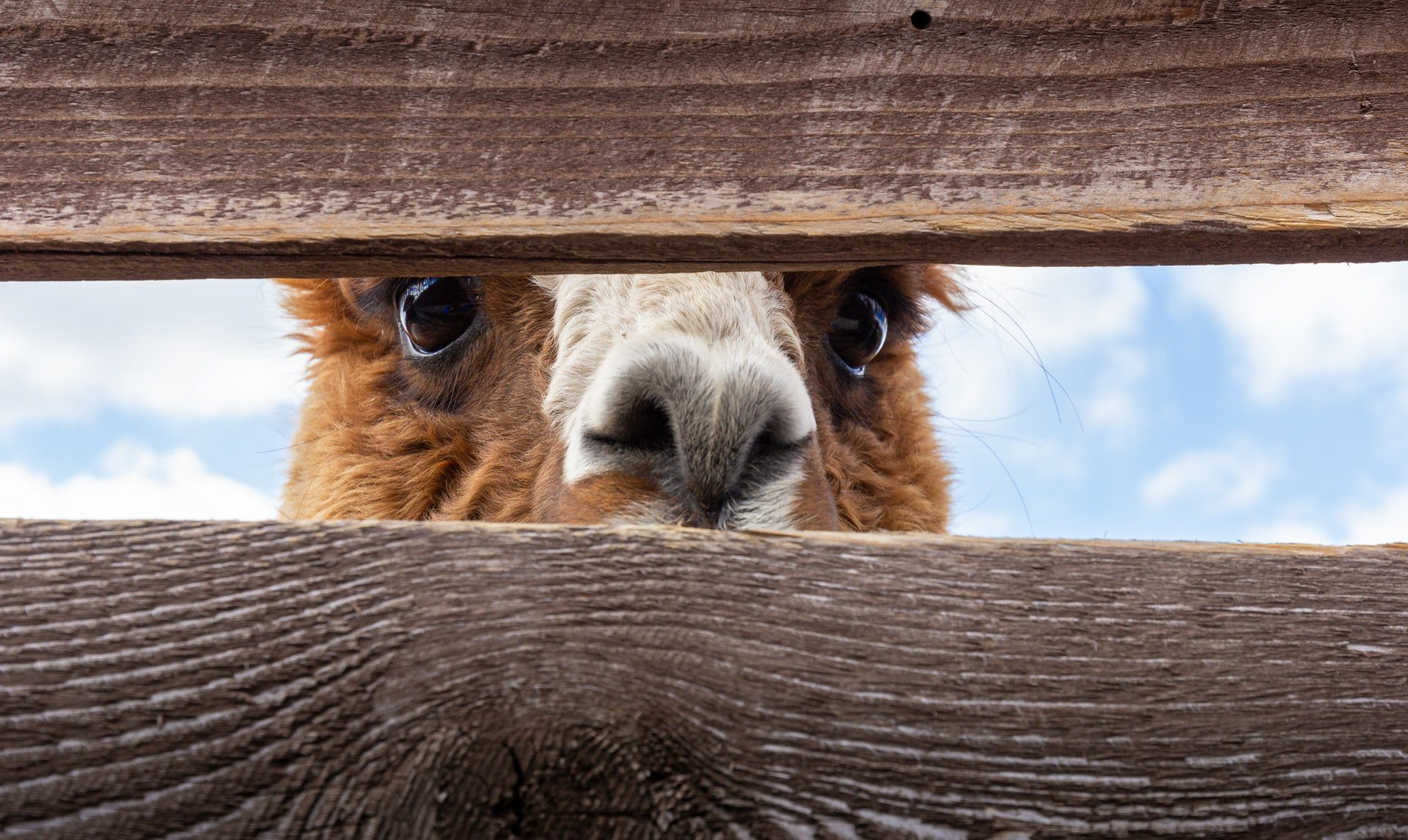 a picture of a llama showing curiosity - curiosity in business
